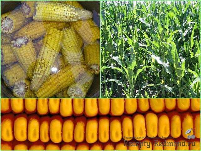 Готовим кукурузу в мультиварке Редмонд